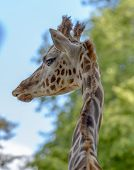Portrait Of A Funny Giraffe