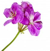 pic of geranium  - Geranium Pelargonium Flowers isolated on white background - JPG