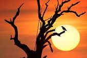 Dramatic conceptual background of black crow bird on branches of old dead tree against sunset sun and orange sky