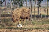 BAIDYAPUR, INDIA - DEC 01 : An unidentified farmer carries rice from the farm home on Dec 01, 2012 i