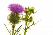 Milk thistle flower isolated on white