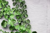 Grape Leaves On Wooden Background