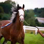 picture of clydesdale  - A close up of a Clydesdale horse in a harness at a fall fair outside in a field - JPG