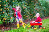 stock photo of fruits  - Happy little children cute toddler girl and adorable funny baby boy brother and sister playing together in a beautiful fruit garden eating apples having fun on a wheel barrow ride enjoying a warm autumn day outdoors