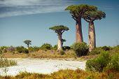 Baobab trees at sunny day