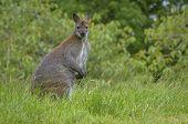 Kangaroo Staring At The Camera