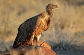 White-backed vulture (Gyps africanus) scavenging on a carcass, South Africa