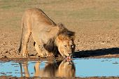Big male African lion (Panthera leo) drinking water, Kalahari, South Africa