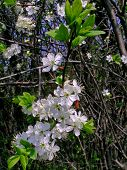 Cherry-tree blooming