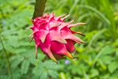 stock photo of dragon fruit  - dragon fruit on a tree - JPG