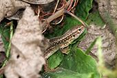 Closeup Of A Sand Lizard