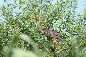 Purple Heron In Willow Tree