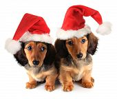 Christmas dachshund puppies wearing Santa hats.