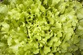 stock photo of endive  - green curly leaves of endive lettuce growing in garden