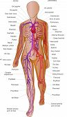 Cardiovascular blood system anatomy