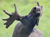 Portrait of a roaring Moose 02