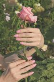 A girl holds pink rose flower by hands with beautiful manicure in a dacha garden