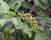 image of pokeweed  - Phytolacca americana Pokeweed with green leaves in the garden.