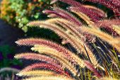 picture of fountain grass  - Fountain grass long stems beautiful fluffy brush in the summer garden - JPG