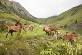 Brown Goats In The French Alps