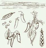 peas. family of legumes