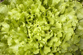 picture of endive  - green curly leaves of endive lettuce growing in garden  - JPG