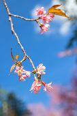 Wild Himalayan Cherry Blooming