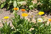 Blooming Marigolds