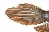 pic of dragon-fish  - Tail of Arowana fish  - JPG