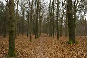 Tracks in a beech forest in winter