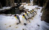 King Penguins walking