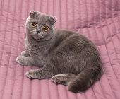 stock photo of scottish-fold  - Scottish Fold cat sitting on pink background - JPG