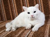 White Cat With Blue Eyes Lying On Couch
