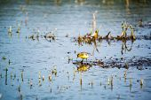 Western yellow wagtail -  Motacilla flava in pond