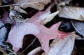 Frozen Red Maple Leaf