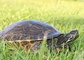 Turtle In The Yard