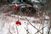 stock photo of chokeberry  - A cluster of Red Chokeberry in the winter - JPG