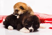 picture of akita-inu  - couple of Japanese Akita - JPG