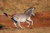 A running plains (Burchells) zebra (Equus burchelli), South Africa