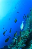 School of fish underwater over coral reef (Unicornfish)