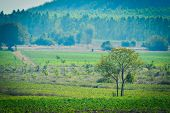 foto of cassava  - The cassava farm at the countryside of Thailand