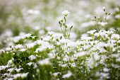 picture of greater  - White flowers of Stellaria holostea  - JPG