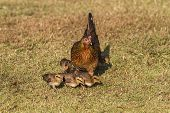 image of bantams  - Pet Bantam hen with new born chickens baby chicks foraging for feed