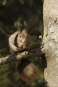 cute red squirrel eating a nut, on a branch, Vosges, France