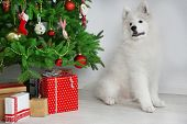 Samoyed dog in room near Christmas tree on white wall background