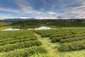 Beautiful fresh green tea plantation