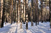 Slim young pine forest. Winter. Siberia. Khakassia.