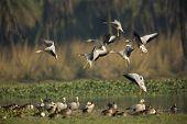 Barheaded Geese Landing