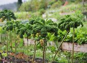 Crop Of Kale Plants