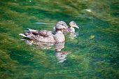 Mallards duck.